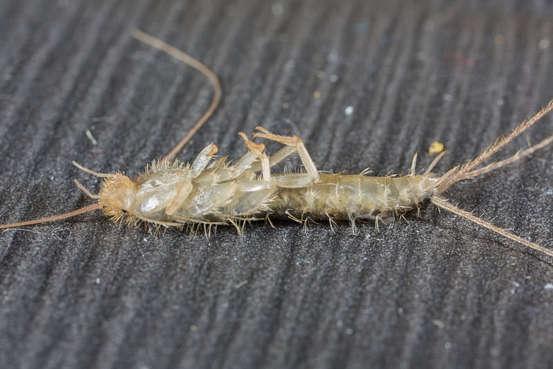 Getting Rid of Silverfish Infestation