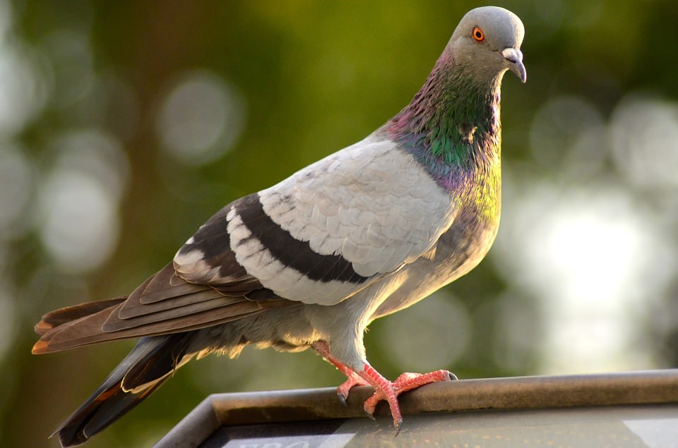 Pigeon-Proof Your Roof