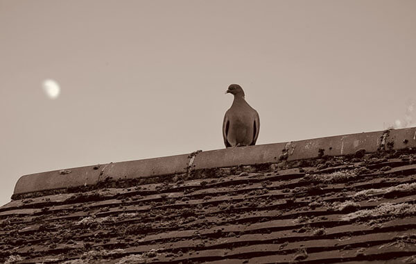 How to control Pigeons on your roof?